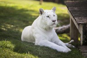 Tigre blanco sendaviva